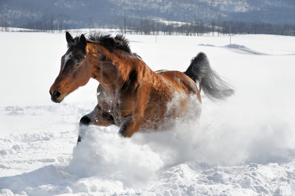 Horse Runnig In Powder Snow 14384 Dierks Photo Altoona
