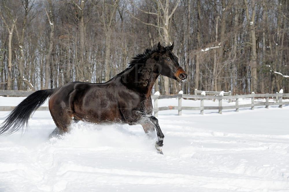 Black Horse Running In White Snow 14444 Dierks Photo