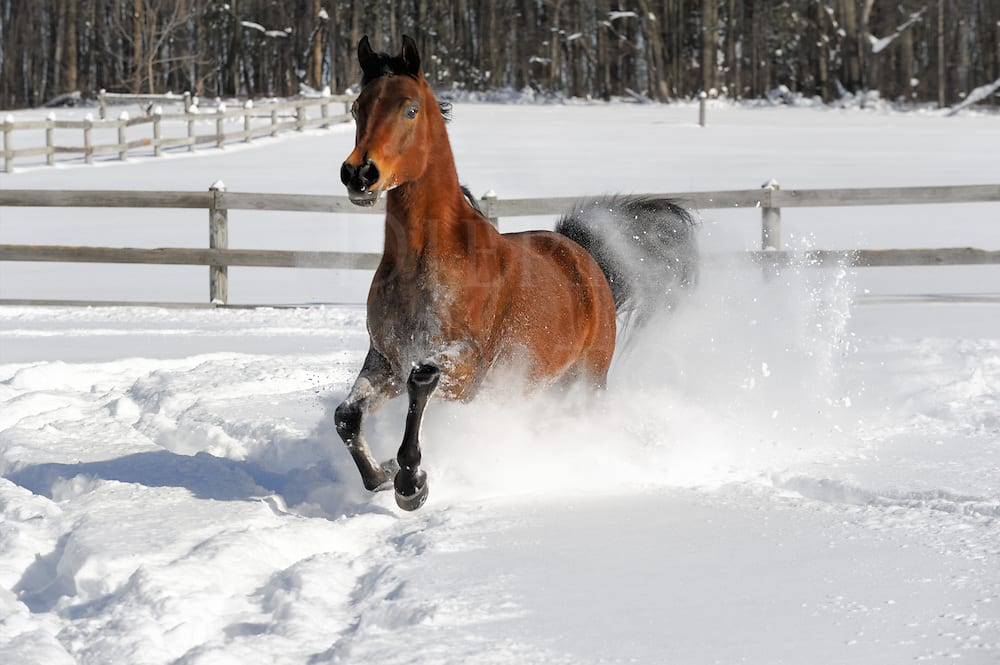 Arabian bay stallion comes through deep snow right at the camera.