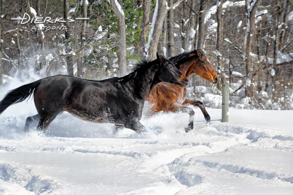 Horses running in deep powder snow