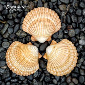 Sea shells in symmetric circle on black stone