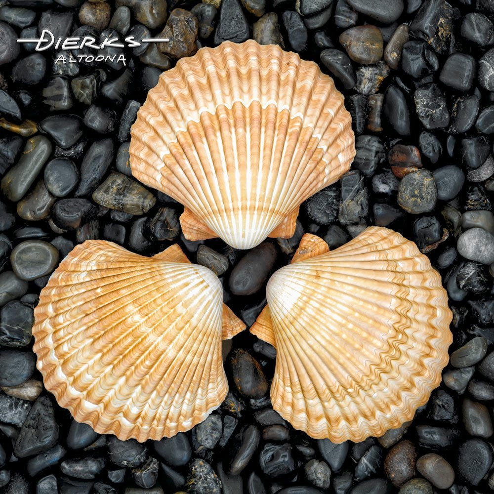 Sea shells in symmetric circle on black stone.