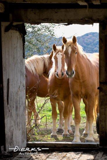 Curious young Belgian draft horses looking into barn door.