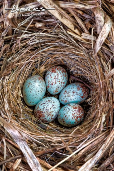 Five blue speckled wren eggs in their bird nest in close up, a sure sign of Spring in Nature.