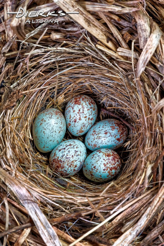 Five blue speckled wren eggs in their nest in close up.