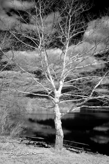 A sycamore tree with bare limbs in winter faces the sun for a warm embrace. Photographed in black and white infrared for effect.