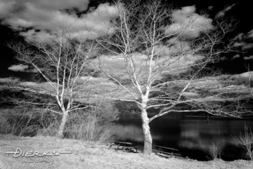 Two sycamore trees without leaves in very late winter along a lakeshore. Image created in black and white infrared.