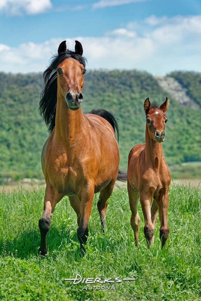 A mother horse and her baby in a summer Pennsylvania pasture, Arabian mare and foal.