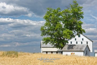 A country landscape of a barn and outbuildings anchored by a large maple tree, and a colorful Maryland flag barn quilt is showing too.