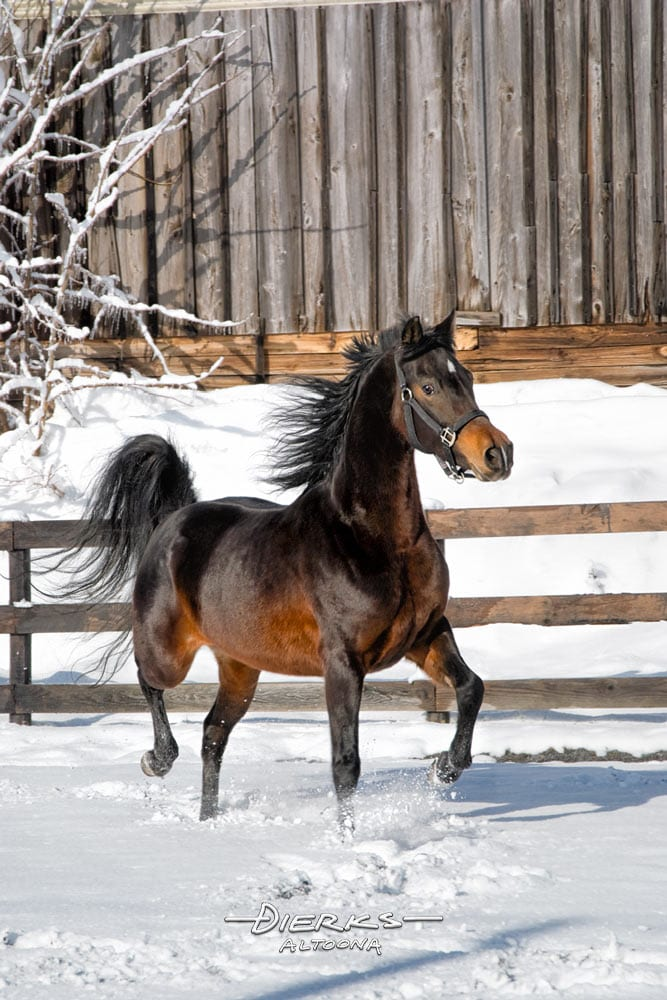 A Morgan horse running and playing in new winter snow.