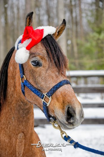 Young horse wearing a Santa hat for Christmas in winter snow.
