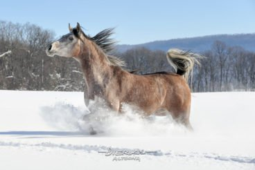 A beautiful horse with flagging tail running through deep snow.