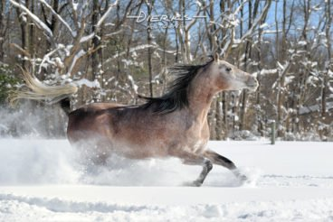 Pretty horse running free in deep powder snow and sunlight.