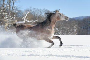 An Arabian horse runs through deep snow making it fly like wispy smoke.