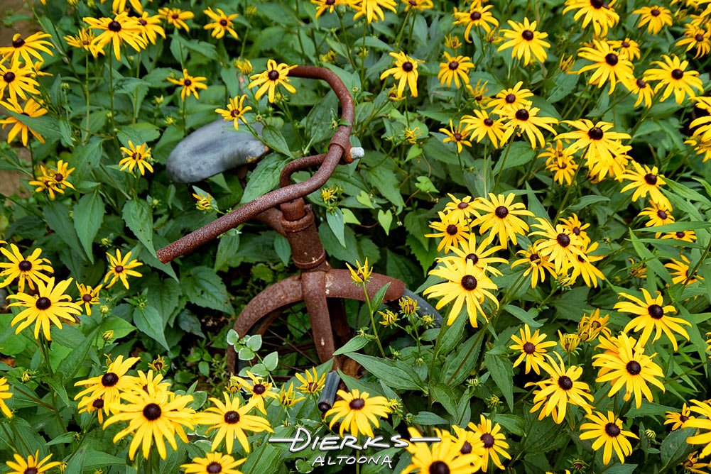 A rusty tricycle captured in a garden full of black eyed susan flowers, a kid toy abandoned.