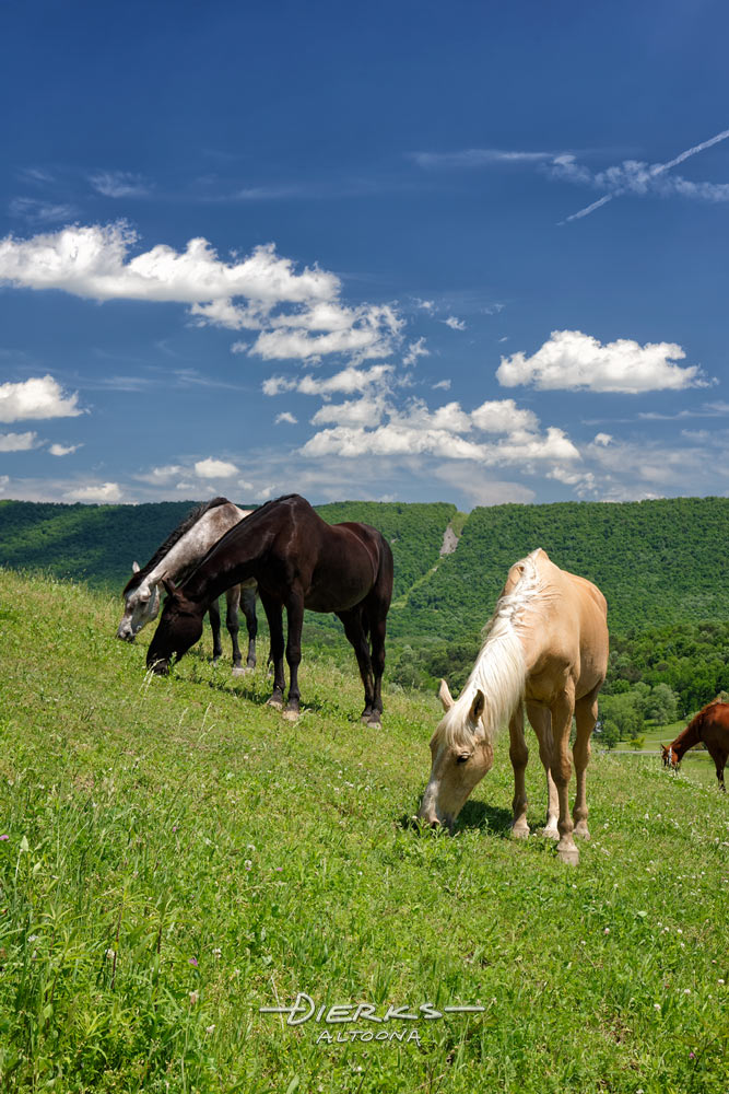 Horses grazing green summer pastures high on the slope of a Pennsylvania mountain.