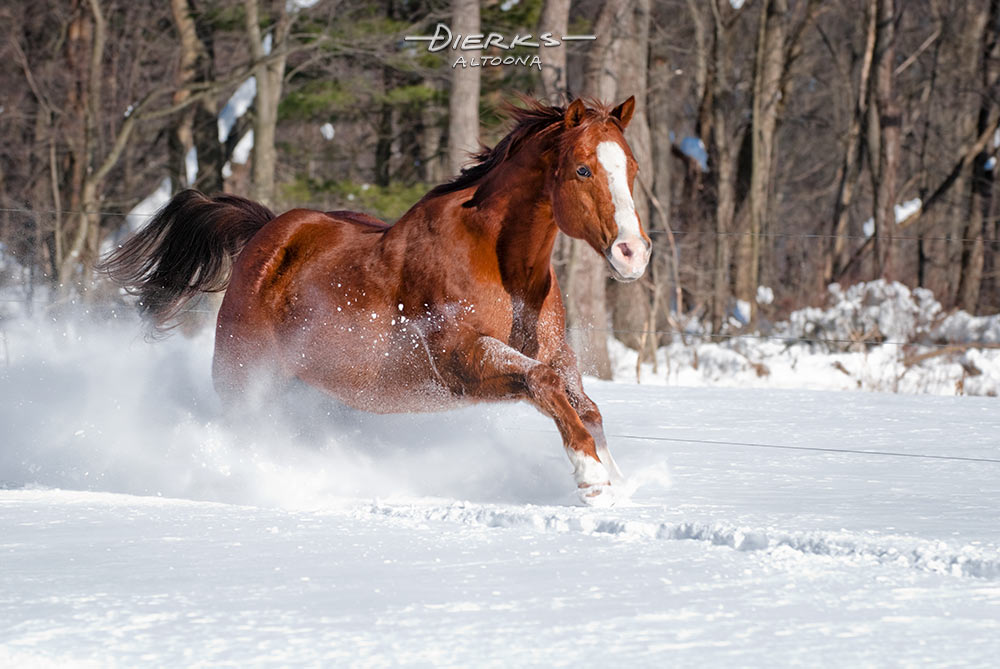 A quarter horse gelding runs through deep powder snow on a sunny morning after the snowstorm.