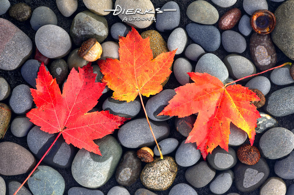 A close up natural Fall scene of sugar maple leaves lying on a gray river rock background.