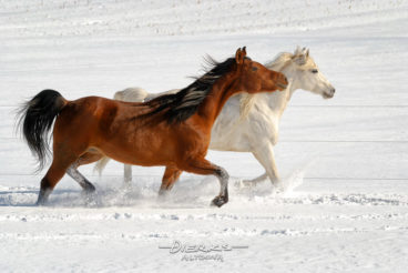 Two beautiful Arabian horses running together toward the sun in fresh powder snow.