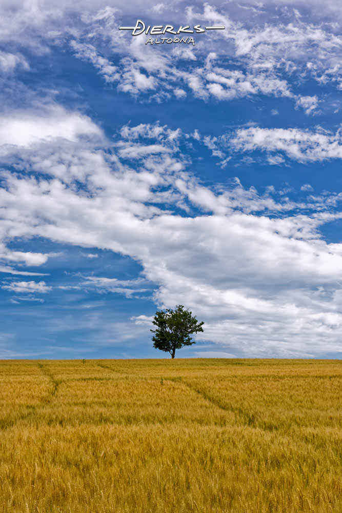 A summer wheat field of near-ready grain lies under the big blue sky as a single tree stands on the horizon alone.