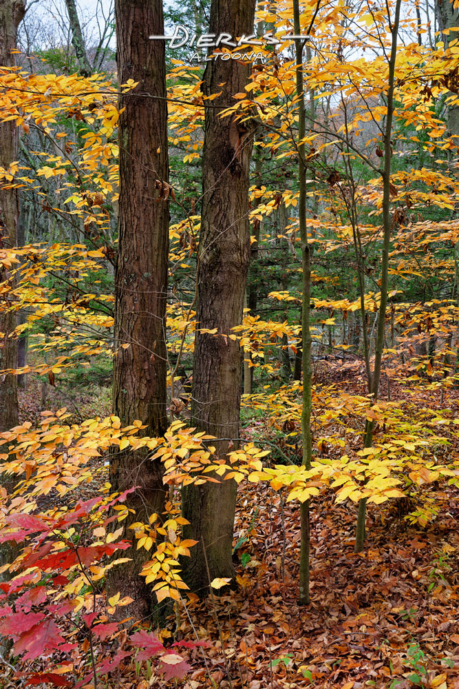 Yellow beech leaves float around two tall tree trunks in the deep fall woods of Pennsylvania.