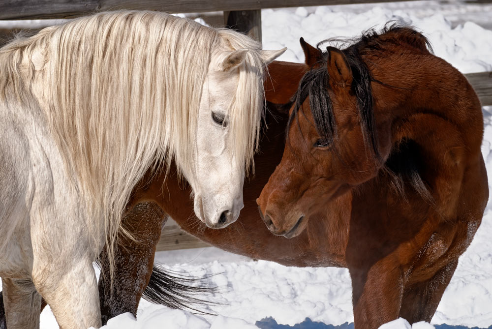 An Arabian horse pair showing affection and togetherness in winter snow, a white stallion and a bay mare.