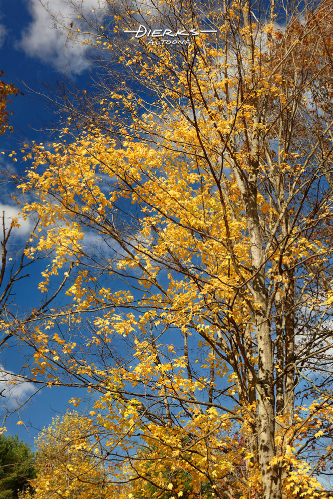 Plentiful sunlight hits the yellow leaves of a sugar maple under blue skies in late Fall.