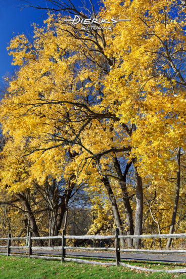 Sugar maple trees explode into yellow fall foliage color along a park trail.