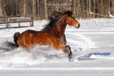 A Rocky Mountain horse runs through new powder snow in winter morning sunshine.