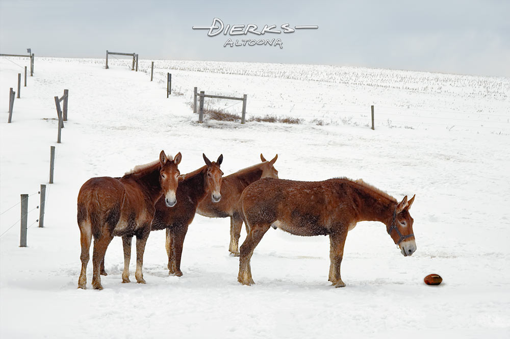 Under an overcast barnyard sky, Amish red mules play football in winter snow in a game of pasture pickup.