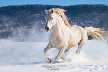 Tearing across a pasture surrounded by farmland and mountains, this running horse cuts a path through a newly fallen fourteen inches of snow. His mane and tail fly just as the powder snow does.