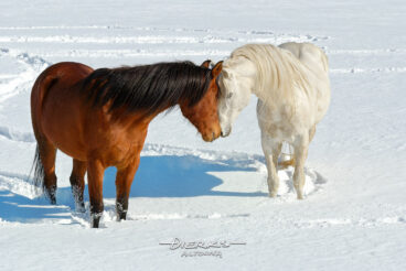 Two Arabian horses show some love and affection between them in a sunny winter snow pasture.