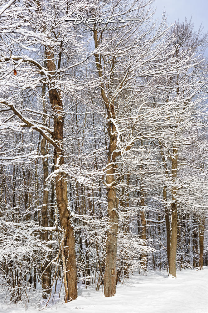 White limbed trees in the woods just after an overnight winter snow in Pennsylvania, USA.