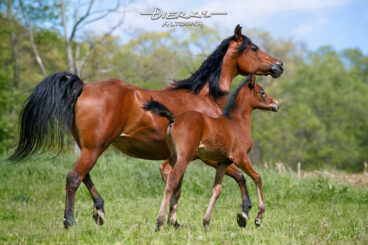 An Arabian mare and her young filly move together in step across a Spring pasture.