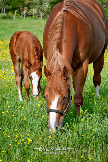 A mother quarterhorse mare leads her young foal through grazing the new high green grass while going around the Spring buttercup flowers.