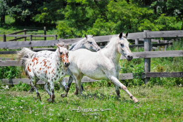 Three Appaloosa horses with spots make a running turn together in a hot Summer pasture.