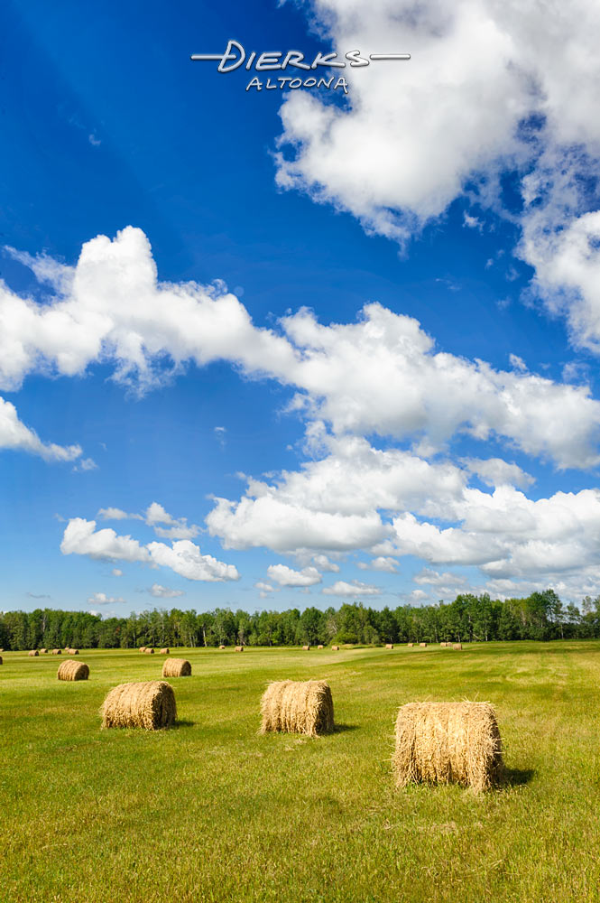 Rolled hay bales sitting in a large farm field on a perfect summer day in Wisconsin.