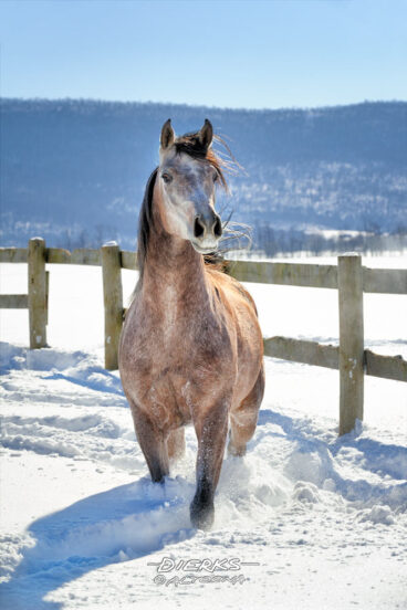 A beautiful Arabian horse stops to look at the camera after running through 28 inches of new powder snow that arrived overnight.